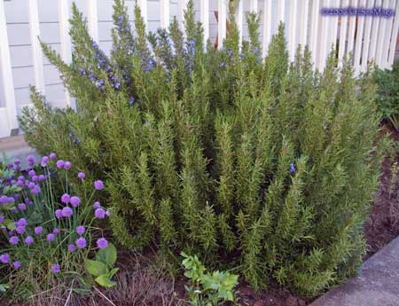 rosemary and chives
