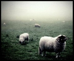 Sheep in the mist (andrewlee1967) Tags: uk england mist landscape bravo sheep andrewlee canon400d andrewlee1967 couldntfindanygorillas focusman5