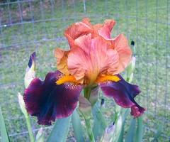 Bloom of an Iris