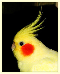 Happy Yellow Feathery Friday! (birdyboo) Tags: cockatiel honeybun c2100 aswpix featherfriday