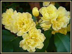 Flores amarillas / Yellow flowers (Asturtom) Tags: flowers flores flower fleur yellow fleurs flor amarillo ltytr1