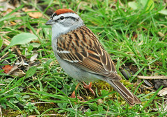 The Chipper (nature55) Tags: nature birds wildlife aves sparrow chippingsparrow naturesfinest nature55 superbmasterpiece