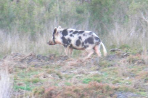 Boole Poole pig