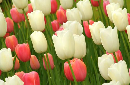حصاد الورد ب::هولندا