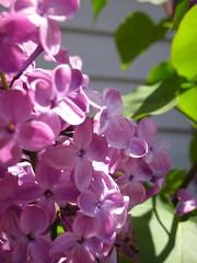 pertty lilac