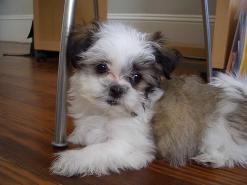 Ella - A Shih Tzu + Maltese Mix Puppy