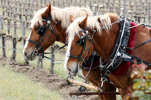 Horses and Grapes by khanklatt, on Flickr