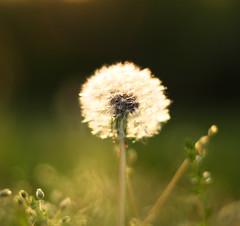 Make a Wish (kellygrape) Tags: sunset dof dusk dandelion utata flare wish magichour thursdaywalk utatafeature utata:project=tw55