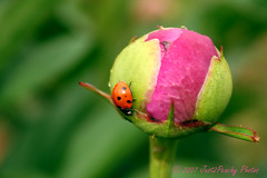 Welcome visitor (Just2Peachy) Tags: pink flower spring beetle peony ladybug naturesfinest blueribbonwinner pinkalicious isawyoufirst