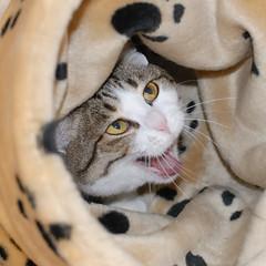 New toy arrived! (dai-chan) Tags: cats pets cat nikon kitty d200 nikkor abigfave kissablekat tunafished lmaoanimalphotoaward superhearts pet500 pet100