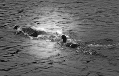 Racing under the sun (sbuliani) Tags: park bw white lake black london nature animal lumix duck panasonic regents stefano dmcfz50 buliani sapessi stefanobuliani