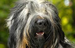 liam_3 (surferdog) Tags: portrait canine liam doggy briard shaggydog herdingdog supershot flickrsbest impressedbeauty theartisticdog