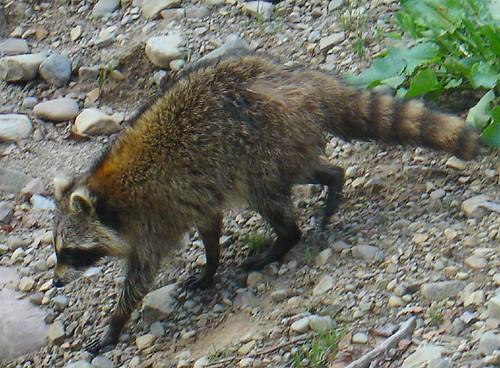 Raccoon coming around the cottage garden bird feeder