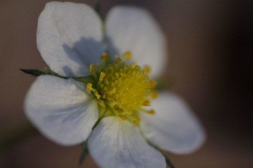 Strawberry Blossom Reverse Lens Macro