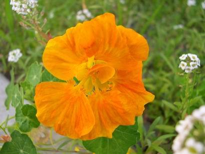 橘黃色的金蓮花 1