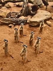 Meerkats all stand looking in the same direction (Vanessa Pike-Russell) Tags: park nature animal zoo meerkat bestof sydney australia mostinteresting portfolio popular taronga 2007 myfaves meerkats views100 vanessapikerussell vanessapikerussellbest