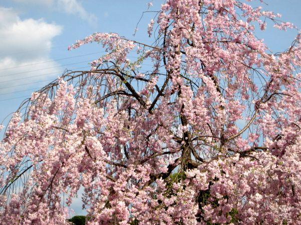 京都・城南宮36 桃山の庭9 さくら桜