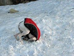 Whippet flipout #2