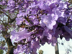 Jacaranda (Cartazon) Tags: flower tree purple jacaranda