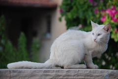 Cautious (Or Hiltch) Tags: white cat sabbath cautious rehovot orhiltch