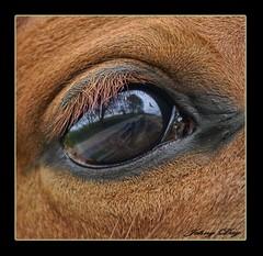 Her Eye is my Canvas (Johny Day) Tags: horse ontario eye caballo cheval bravo searchthebest quality soe magicdonkey oneofmybest abigfave johnyday shieldofexcellence 77391 goldenphotographe diamondclassphotographer troikatrakehnerstudfarm kwarea rubysbird horsephotographer equinephotographer johnyday world100f trakehnerbloodlines johnydaystudioyahoocom
