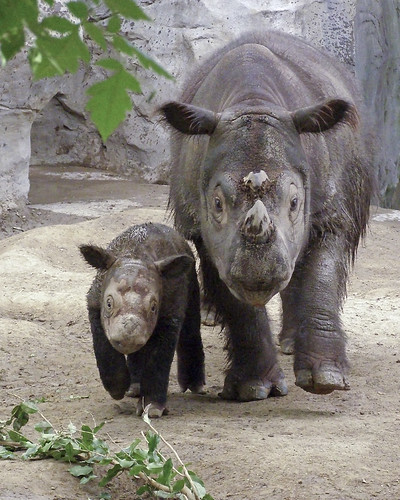 Emi, world famous Sumatran Rhino, introd by wAlanb, on Flickr