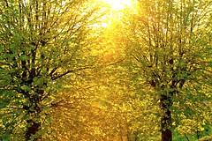 Golden Leaves (Villa Sams) Tags: trees light sunset italy sun golden florence rays aplusphoto villasams casacares