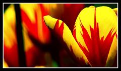 Tulipa Parrot 'Texas Flame' (Pepe Pont) Tags: naturaleza flower macro nature fleur dof natureza flor natura tulip tulipa keukenhof tulipe tulipán thecontinuum flowerotica abigfave ltytrx5 colorphotoaward ltytr2 ltytr1 cernicaloe texasflame tulipaparrot
