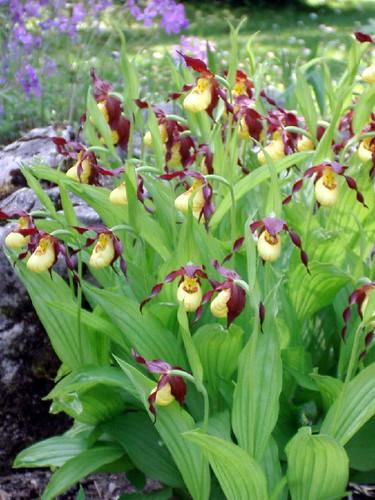 slipperorchids