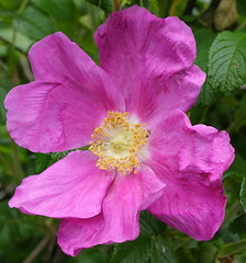 Wild Rose..... (farmerytwang) Tags: uk swindon coatewater prettyplants flowershare thatsclassy