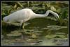 Hunting (Hamilton Images) Tags: ohio white bird lakeerie may betterbeamer greategret 2007 plume ardeaalba cranecreekstatepark impressedbeauty img5651