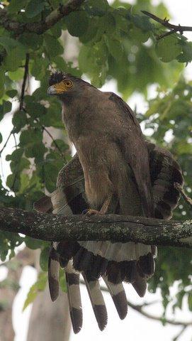 Crested Serpent Eagle (b)