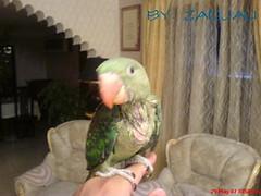 hey guyz its me Again (MeMoRy_ReMaInS) Tags: birds parrot om oman parrots 968     mucat  zadjali alzadjali nepalparrots nepalparrot