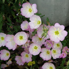 #4529 evening primroses () or showy evening primrose () (Nemo's great uncle) Tags: flower tokyo evening flora   oenothera primrose eveningprimrose stricta  setagayaku oenotherastricta yga tky
