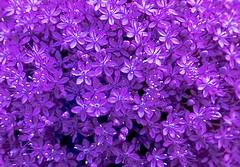Violet (Indig) Tags: flowers nature europe hungary pentax violet soe 105mm indig naturesfinest pentaxk10d diamondclassphotographer laszloindig