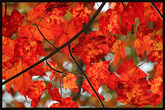 Fall Leaves at Peak Color (TPorter2006) Tags: autumn light red favorite orange sunlight canada blur color tree fall love leaves closeup circle out leaf interestingness maple interesting rojo stem beige focus paradise branch seasons angle heart bright grandmother bokeh background seasonal rich frombelow medal explore eat your delight twig 300views veins peeper limb catchycolor naranja platinum majesty splendor shootingup bigmomma leafpeeper explored hbw favescontestwinner photofaceoffwinner photofaceoffgold photofaceoffplatinum pfogold pfoplatinum tporter2006 nov08pfobrackets herowinner thepinnaclehof 1galleries enteredpinnaclejune2012 enteredpinnacleseptermber2012 motmsep12 tphofweek196 enteredpinnacleapril13