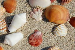Sea shells 3 (rticotropical) Tags: ocean trip travel red sea vacation orange brown sun shells white holiday macro texture tourism beach nature animal coral festival closeup scarlet relax skeleton fun liberty coast sand beige marine surf waves pattern break quiet natural wine earth maroon terracotta critter touch grain hard smooth shell surface structure lazy shore repetition land mustard rest leisure organic nautical rough aquatic pause seashore swell firm biological invertebrate fragment zoology ashore speck elemental coarse disposition florid littoral granule