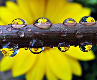 Gazania Droplets On A Dandelion Stem