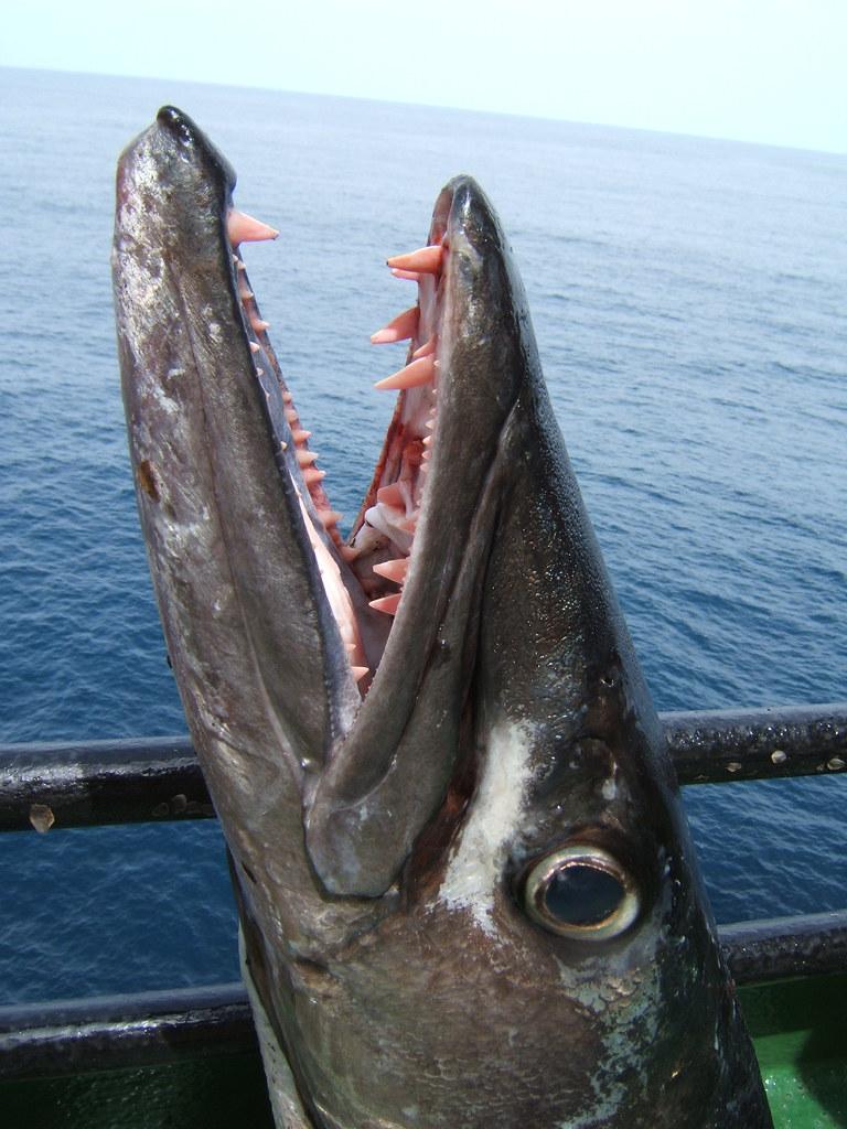 Guinean Barracuda (Sphyraena afra) - Jaws