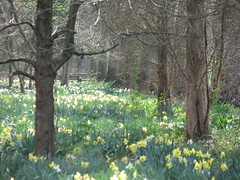 Daffodils as far as you can see
