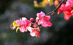 cognassier du Japon (Anduze traveller) Tags: flowers tag3 taggedout fleurs spring tag2 tag1 backlit japanesequince printemps cognassierdujapan