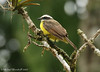 Rusty-margined Flycatcher (Michael Woodruff) Tags: foothills bird birds ecuador birding lowlands flycatcher myiozetetes myiozetetescayanensis rustymarginedflycatcher nwecuador riosilanche rustymargined