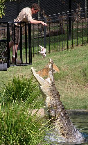 Saltwater crocodile vs tiger - photo#55