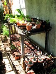 Backyard Seedlings (joeysplanting) Tags: cactus terracotta lettuce seedlings succulents bokchoy