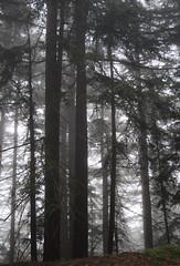 reaching high (hiibiiscus) Tags: trees mist fog forest canon woods saira xti canonxti diamondclassphotographer flickrdiamond hiibiiscus