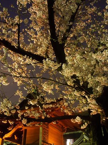 夜桜(門前仲町)
