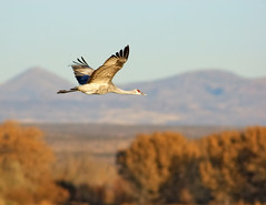 Sandhill Crane Fall Flight (Fort Photo) Tags: autumn bird fall birds animal bravo searchthebest bokeh wildlife birding flight bosque ave ornithology bosquedelapache avian 2007 sandhillcrane bif birdinflight naturesfinest gruscanadensis gruidae featheryfriday specnature animalkingdomelite abigfave anawesomeshot gruinae avianexcellence diamondclassphotographer