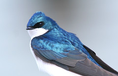 Tree Swallow (Hard-Rain) Tags: blue bird nature illinois wildlife aves plainfield treeswallow tachycinetabicolor passeriformes hirundinidae tachycineta avianexcellence