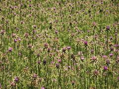 otras plantas Gran Canaria 03 (Rafael Gomez - http://micamara.es) Tags: espaa flores de