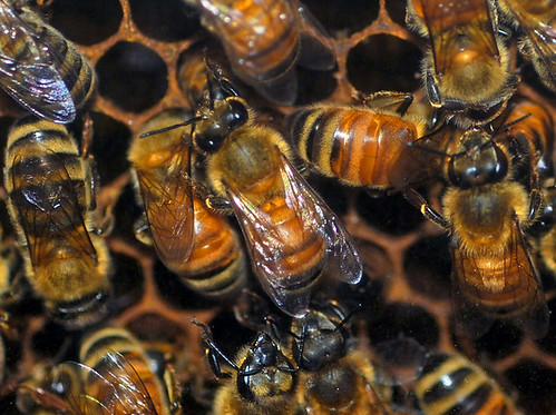 bees by ianthes, on Flickr